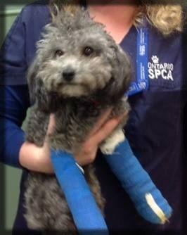 Teddy-surrendered with two broken legs.  Teddys' Valentine's Day was spent in surgery.  #donate #taxreceipt  #support #dogrescue #beachesanimalhospital #GTA  #APleaForTeddy #HelpTeddy