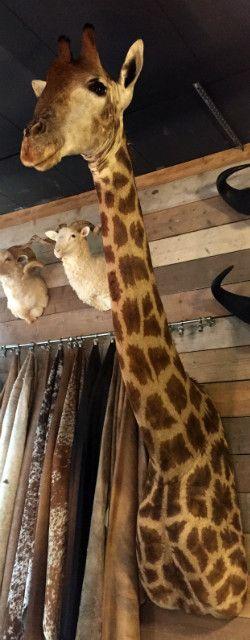 Large stuffed head of a giraffe.