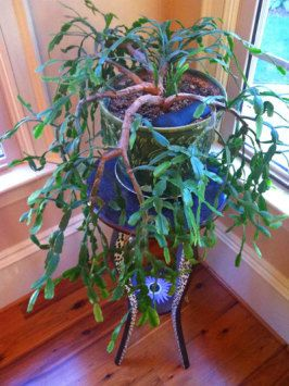 Christmas cactus is not a desert plant, Make sure a source of humidity like a shallow tray of water is kept nearby. The plant will not tolerate dry soil and requires regular watering (done at the base of the plant). -