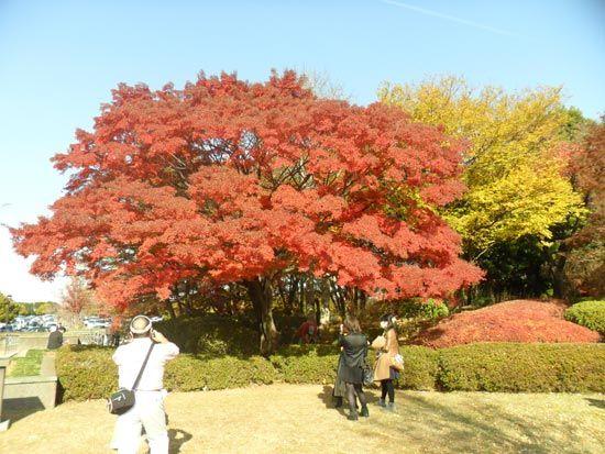 Autumn colour pics taken from Showa Kinen Park near #Tokyo: http://www.cheapojapan.com/showa-memorial-park-autumn-report/ #autumn #colors #colours #tachikawa