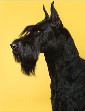 "Giant Schnauzer, Looks just like Elphie when you ask ""Wanna Biscuit?"" She goes on full alert!"