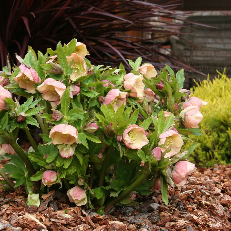 Growing Hellebores Those Lovely Harbingers Of Spring: 1000+ Images About Schneerosen, Christrosen, Hellebora