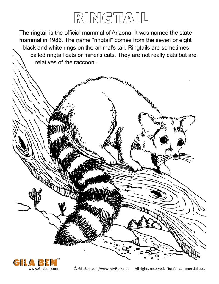the ringtail arizonas official state mammal more arizona coloring pages at wwwgilaben