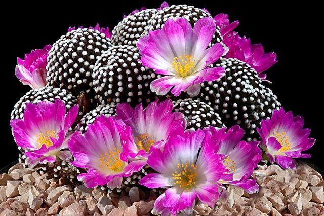 Mammillaria luethyi - Foto: Andrea B.