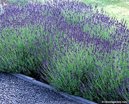 Growing & harvesting lavendar: Hidcolte variety pictured
