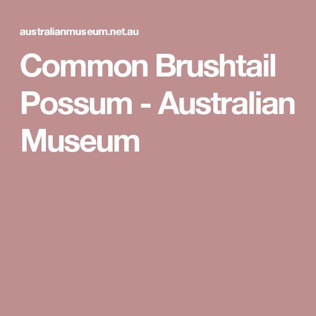Common Brushtail Possum - Australian Museum