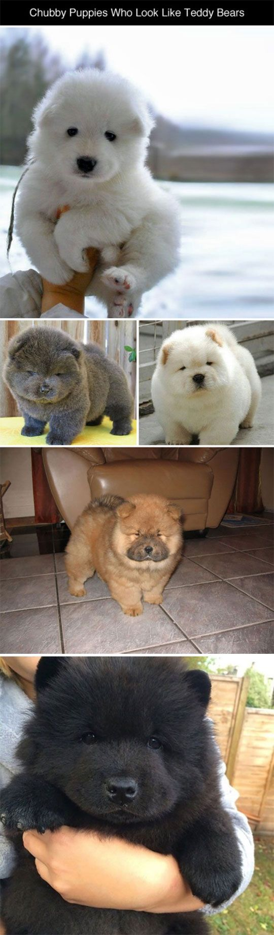 Puppies Who Look Like Teddy Bears