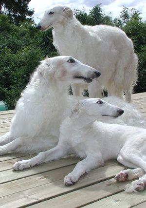 Borzoi / Borzoi es una raza de perro desarrollada en Rusia. El Borzoi desciende del galgo árabe, siendo parecido a un perro ovejero ruso. Anteriormente conocido como galgo ruso, fue originalmente criado para cazar lobos y liebres