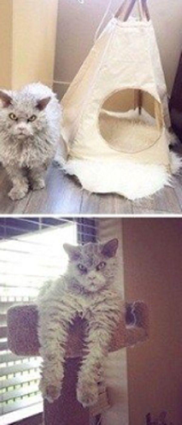 Meet Pompous Albert The Frowning Feline Who S A Purr Fect Cross Between Grumpy Cat And Einstein Grumpy Cat Cats Cat Facts