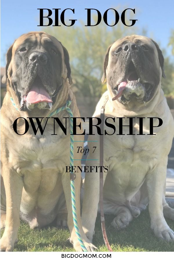 There are some benefits of big dog ownership that are unexpected, pleasant surprises, that can cause big dog parents to go from fancier to fanatic.  Here are the Top 7 Unexpected Benefits of Big Dog Ownership.  #BigDogs #BigDog #BigDogOwnership  Big Dogs / Big Dog / Big Dog Owners / Benefits of Dog Ownership / Benefits of Dogs