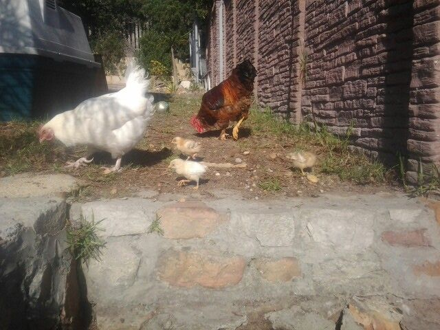 Henny Penny and family