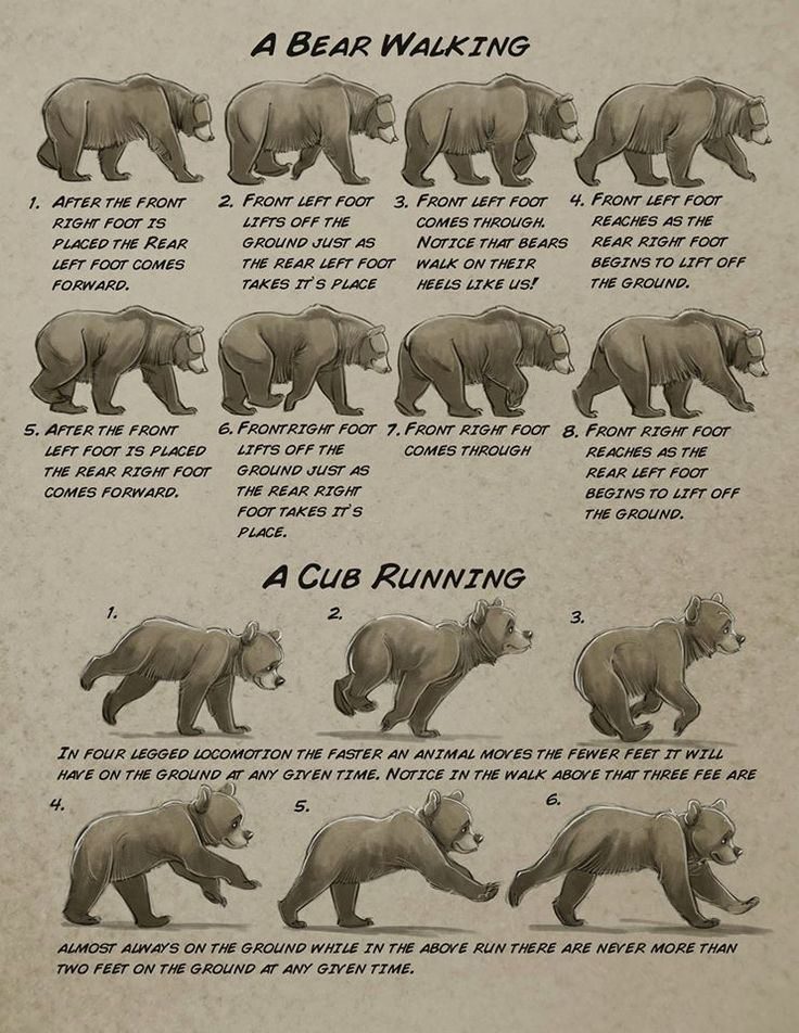 60 best References_Ursidae images on Pinterest | Anatomy reference ...