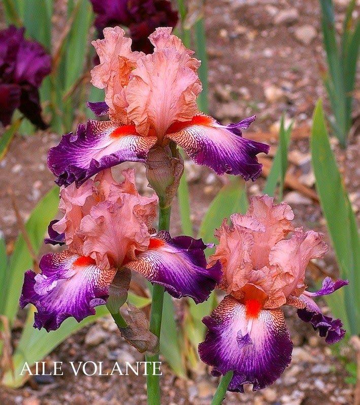 Tall Bearded Iris 'Aile Volante' (Iris germanica)-