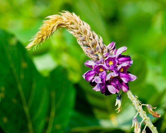 Les propriétés médicinales du kudzu, Pueraria lobata - Remède naturel pour un sevrage tabagique et alcoolique - Remède naturel pour arrêter de fumer
