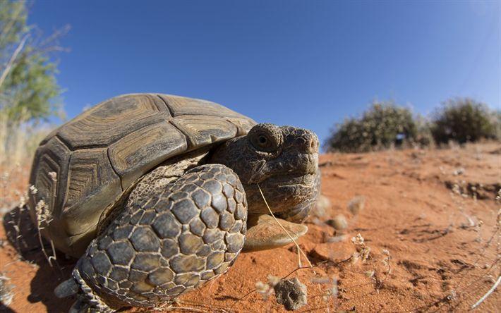 Download wallpapers Desert Tortoise, wild nature, Mojave, Mexico, desert tortoises