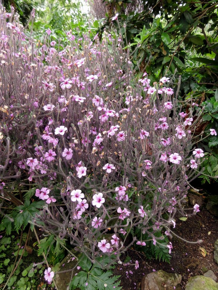 Madeira Storchschnabel Geranium madeirense  sonnig  trocken  Storchschnabel Blumen und
