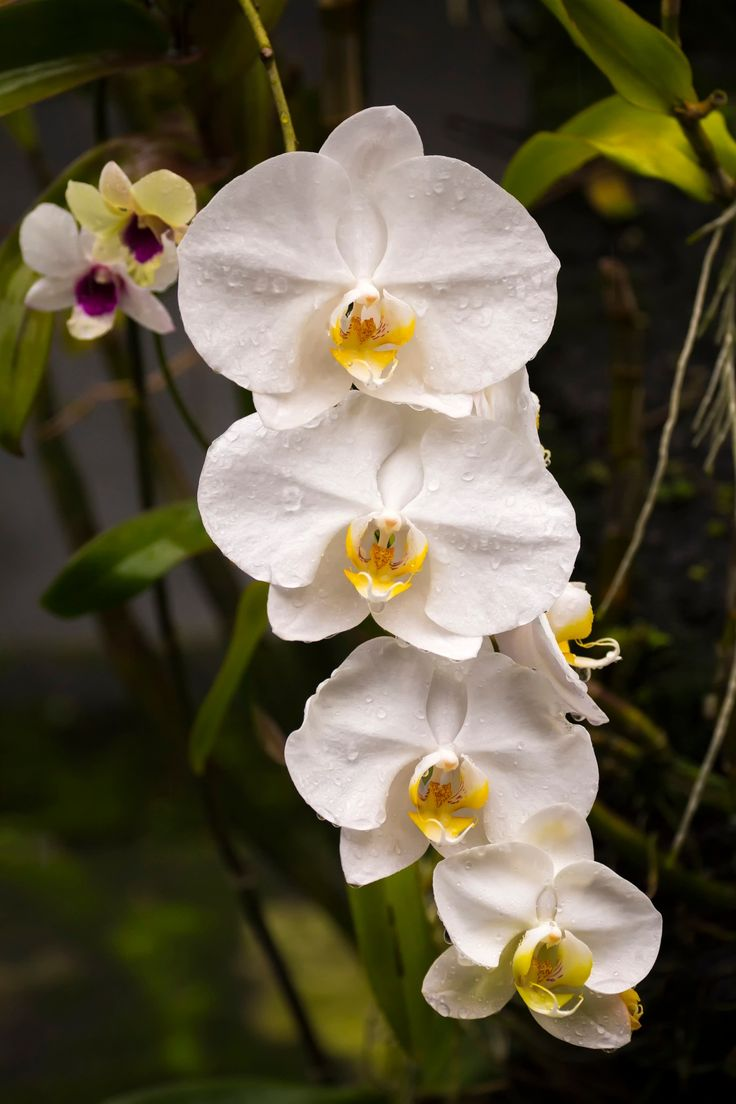 Orchid from Bali