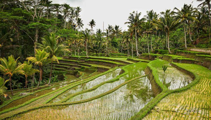 https://flic.kr/p/BSbZ66 | Restful in the Rice terraces | at Gunang Kawi