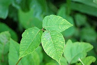 Identifying the different types of Poison Ivy - Good site about poison ivy.
