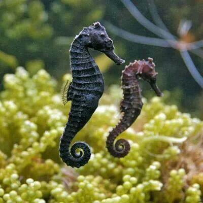 Los caballitos de mar