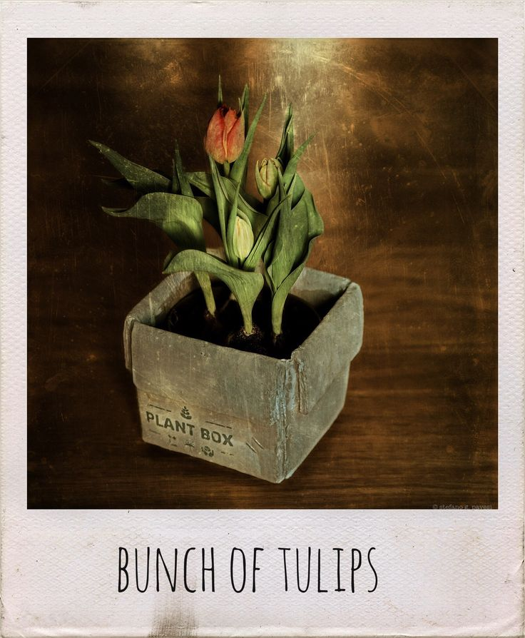 bunch of tulips.  #tulips #blossom #vegetal #popular #stilllife #vase #stefanopavesi #bud #iger #insta #pic #bunch #polaroidstyle #flower #colorful #square #milan #italy #good #mood #emotional #burnmagazine #love #bright