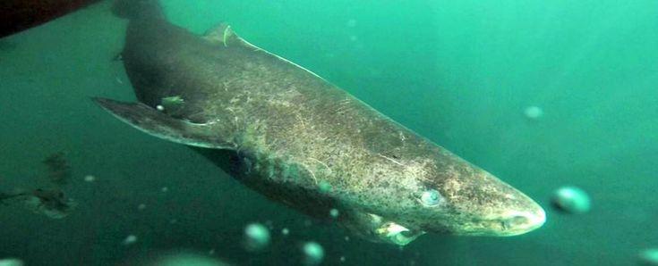 Avec ses 392 ans le requin du Groenland est le plus vieux vertébrés vivant sur Terre