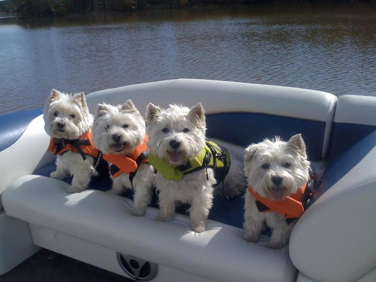Westie's in the pontoon boat in their little life jackets.