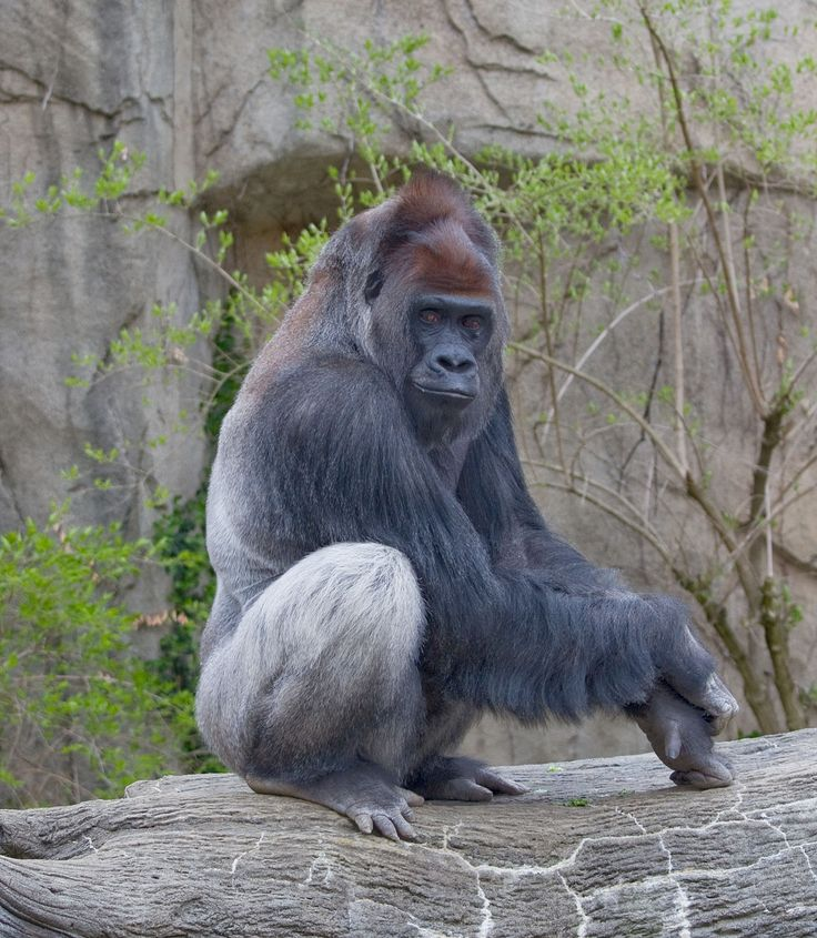 "http://ift.tt/2pmpUlw The Western lowland gorilla's scientific name is ""Gorilla gorilla gorilla""."