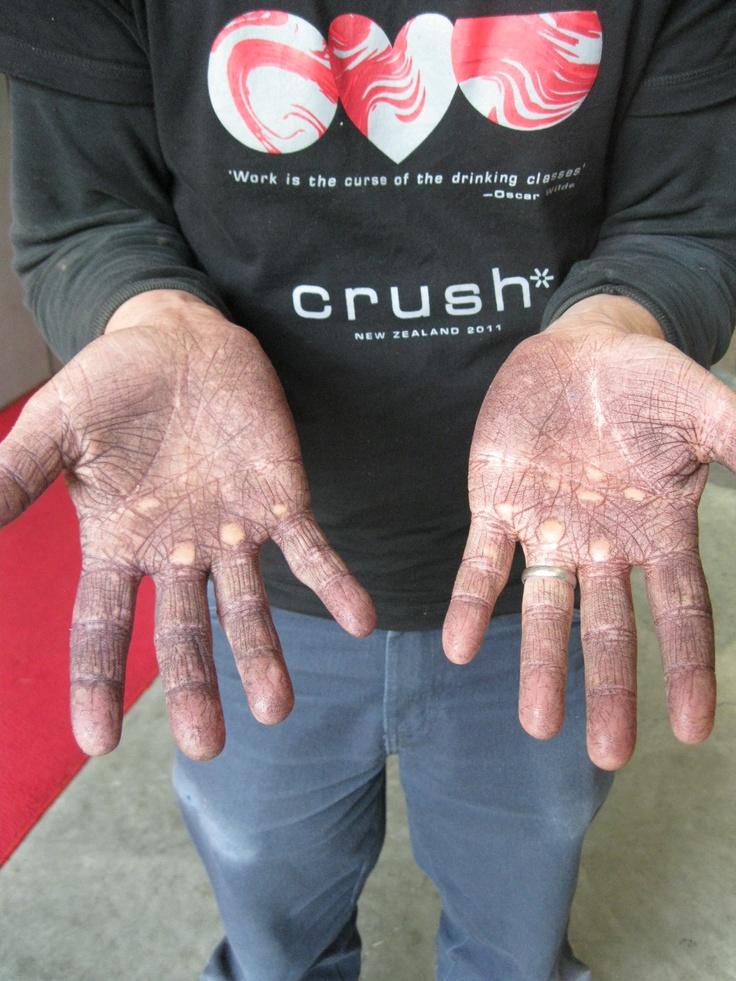 Hard working harvest hands... Trinity Hill, Hawkes Bay NZ
