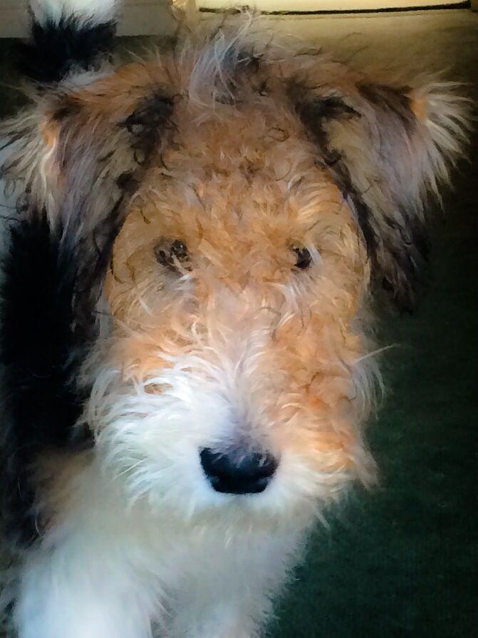 Fox terrier Jack