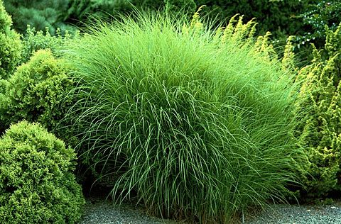 Maiden grass perennial full sun to part shade for Full sun ornamental grass