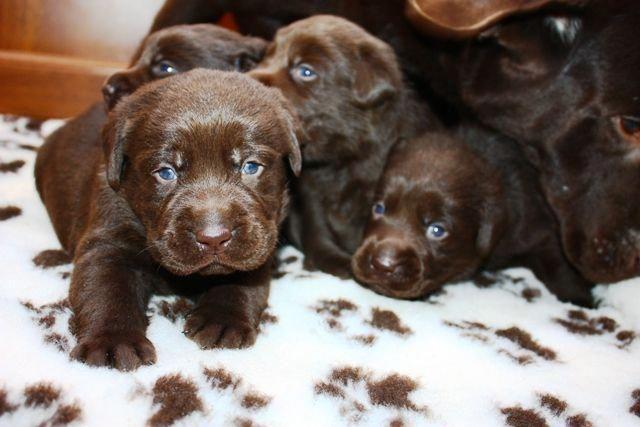 Uk Labrador Breeders Chocolate Labrador Puppies For Sale Labradorpuppies Labrador Labrador Puppy Labrador Puppy Training