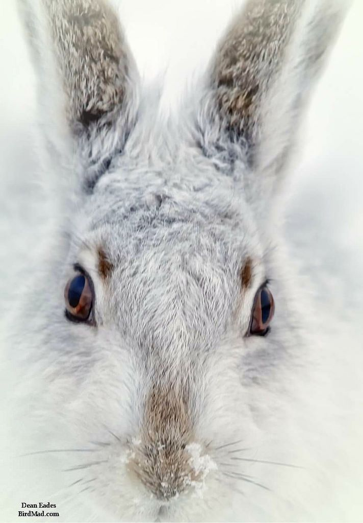 Mountain Hare BirdMad Wildlife Photography Courses Tours and Holidays 2016 Photo by Wildlife Photography Courses**