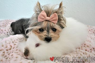 Misa Minnie - Smarter Than Some People I Know | THE YORKIE BLOG