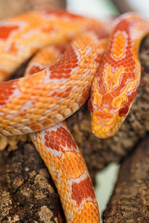 Corn snakes sont les meilleures serpents