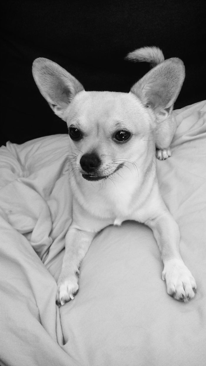 1000 images about chihuahuas on pinterest cartoon devil and blue - Tao Chihuahua
