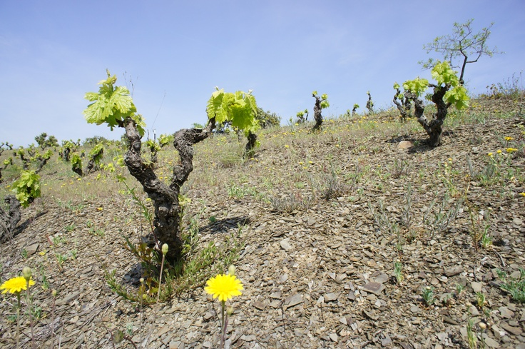 Vineyards in the Priorat region. #wine #Catalonia #Spain