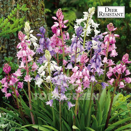Pastel bells in blue, white and pink. This is a beautiful and charming low-growing addition to your spring garden. Scilla Campanulata has a sweet fragrance. Also great for perennial borders, rock gard