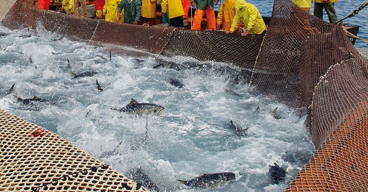 End of May each year, it's time. The big tuna fish shoals approach the north side of the island. The old way the animals are caught