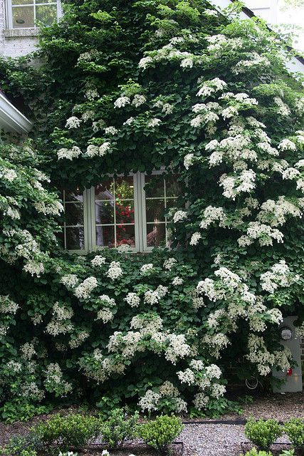 Climbing hydrangeaWhite Flower, Climbing Hydrangeas, Gardens Design Ideas, Climbing Rose, Modern Gardens Design, Beautiful, Windows, House, Design Home