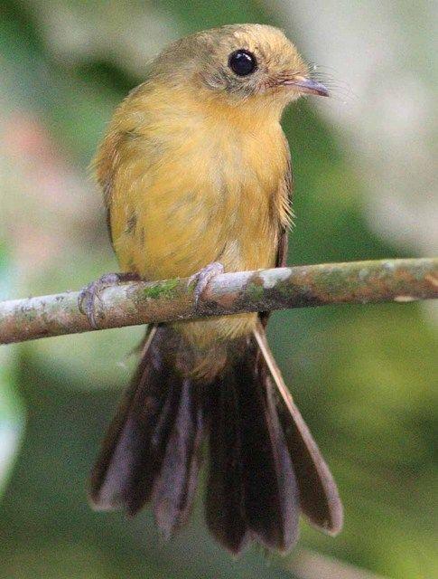 Assanhadinho-de-cauda-preta (Myiobius atricaudus)