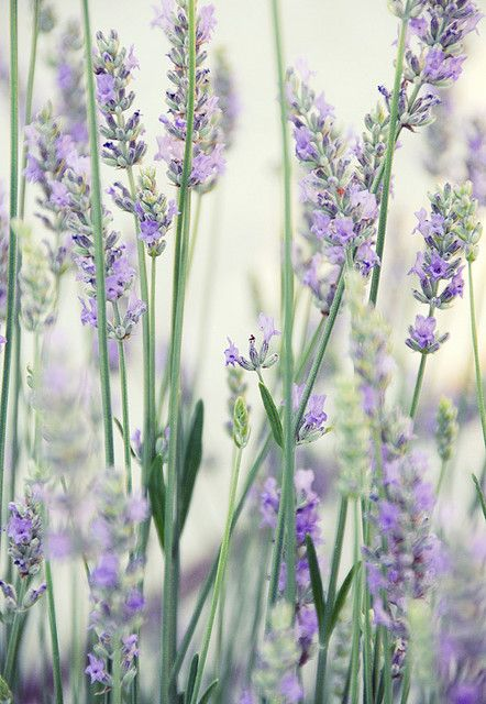 best lavender {the herb} images on, Beautiful flower