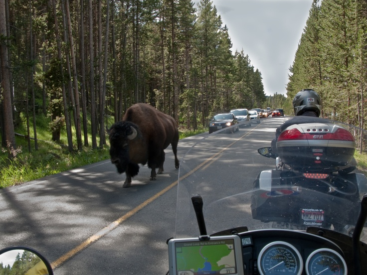 Bison and Motorcyclist by Chuck Peterson