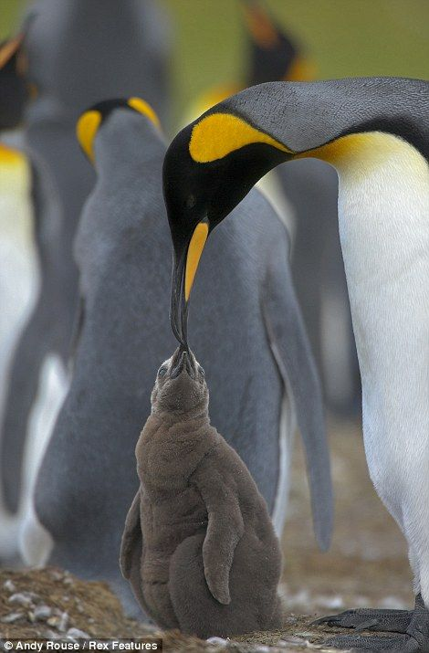 Stunning pictures of island where penguins have created the world's largest crèche