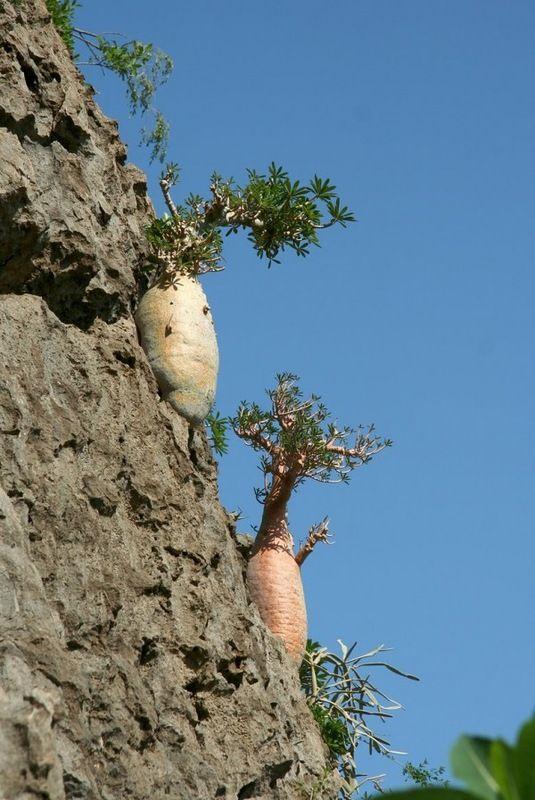 Dorstenia gigas and Adenium socotranum in habitat (Socotra)