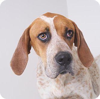 Eden Prairie, MN - Great Dane/Pointer Mix. Meet Doc D171194, a dog for adoption. http://www.adoptapet.com/pet/18466540-eden-prairie-minnesota-great-dane-mix