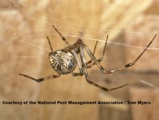 The common house spider is usually the spider most often encountered indoors. It is a nuisance pest, probably more because of its webs than the spider itself.
