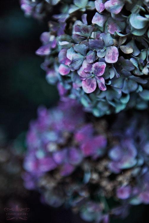 blue and purple hydrangeas ~