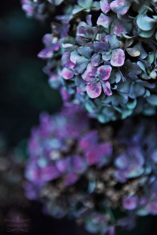 Indigo and mauve hydrangeas. Mauve is a very trying color to wear; the contrasting shade must match in hue or it is likely to clash.