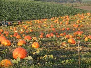 images of pumpkins growing google search - Growing Halloween Pumpkins
